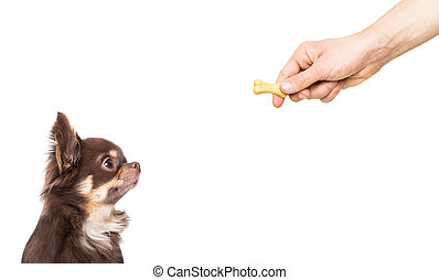 hungry chihuahua dog thinking and hoping for a treat by owner with hand, isolated on white background