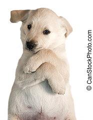 Dog - Golden Retriever Puppy - 7 weeks old, adorable Golden...