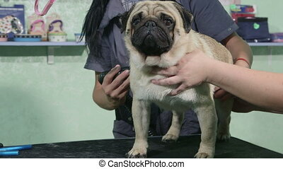 Dog groomer drying pug at pet salon