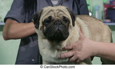 Dog groomer drying pug at pet salon