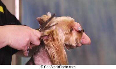 Dog Groomer makes a hairstyle of Yorkshire terrier