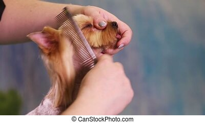 Dog Groomer makes a hairstyle - Groomer using thinning...