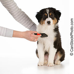 dog grooming - australian shepherd sitting being brushed ...
