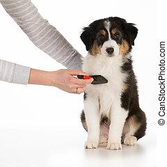 dog grooming - australian shepherd sitting being brushed ...