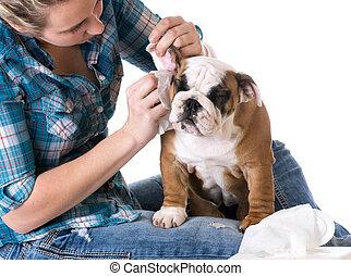 dog grooming - bulldog getting ears cleaned by woman