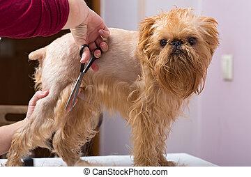 dog grooming - Haircut Brussels Griffon dog breed, dog...