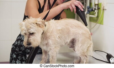 Dog Grooming. Pet Groomer Drying Wet dog Hair With Dryer....