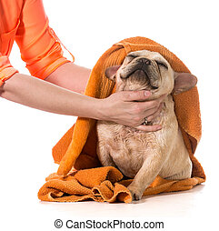 dog grooming - drying french bulldog off with a towel after...