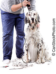 Dog grooming - A professional is grooming an English Setter....