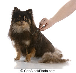 dog grooming - pile of hair beside a pomeranian that is...