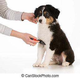 dog grooming - australian shepherd sitting being brushed...