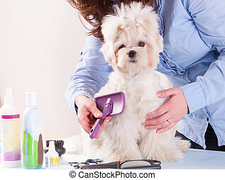 Dog grooming - Woman grooming a dog purebreed maltese.