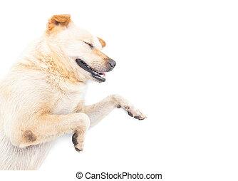 Dog happy sleeping on white background