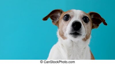 Dog head on blue background - Jack Russell Terrier dog on...