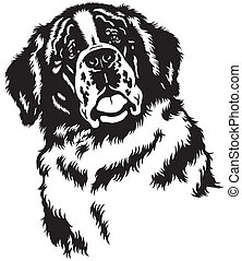 dog head, saint bernard breed,black and white image