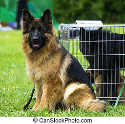 dog, herdershond