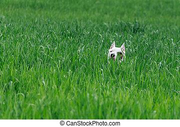 Dog hiding in the bush, hunting dogo argentino.