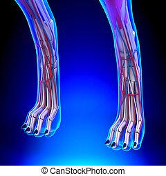 Dog Hind Legs Anatomy with Circulatory System