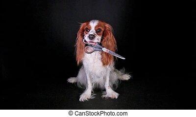Dog holding cosmetic scissors on black screen.