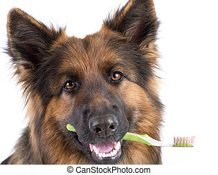 Dog holding toothbrush in mouth isolated - Dog holding...