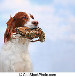 dog holds a woodcock - hunting dog holding in teeth a...