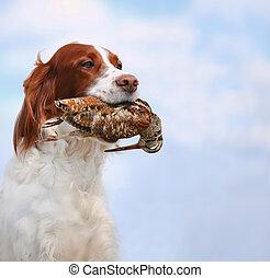 dog holds a woodcock