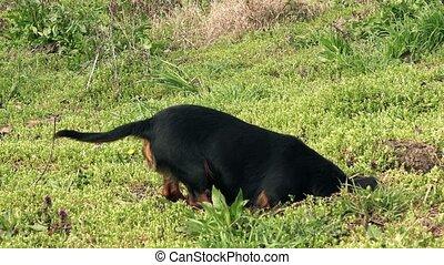 Dog hunting moles - Small black female dog hunting for moles...