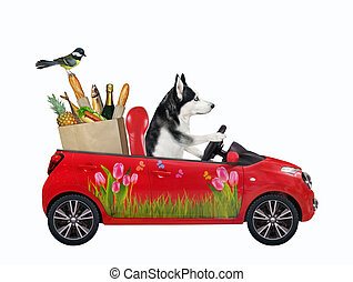 Dog husky in red car with food