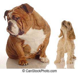 english bulldog ignoring howling yapping spaniel puppy