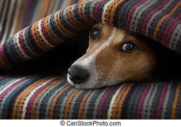 jack russell dog sleeping under the blanket in bed the bedroom, ill ,sick or tired, sheet covering its head
