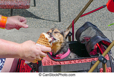 Dog in a bag eating and licking ice cream