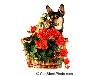 Dog in a basket - A Jack Russel Terrier dog in a basket on...