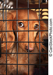 Dog in a cage. - Sad dachshund dog behind bars in a cage.