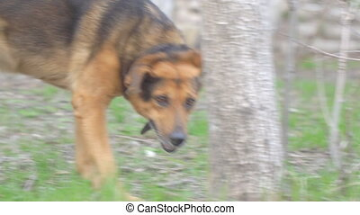 Dog in a collar looking and passing by the camera - Dog in a...