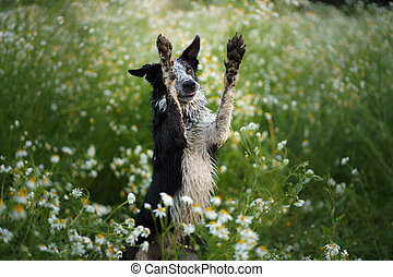 dog in a field of daisies. Border collie in nature.