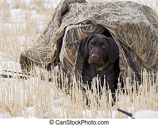 Dog in a hunting blind - Dog in a field blind