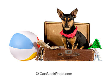 Dog in a suitcase - Jack Russel Terrier dog sitting in a...