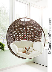 Dog in a suspended chair - Cute toy-terrier resting in a...