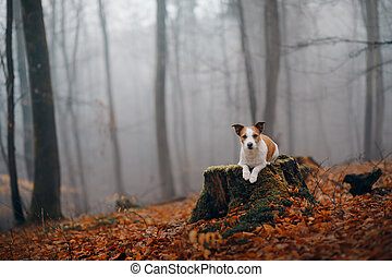dog in autumn forest. Jack Russell Terrier on a stump.