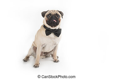Wonderful Pug Bow Adorable Dog - dog-in-bow-tie-funny-dog-in-bow-tie-looking-at-camera-while-isolated-on-white-stock-image_csp16631661  2018_98848  .jpg