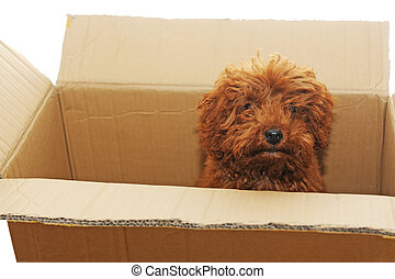 dog in box - a little poodle dog in the box