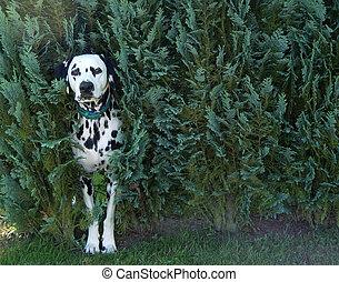 dog in bush - dalmatian guarding his garden