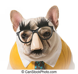 dog in disguise - french bulldog disguised as a human