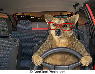Dog in glasses driving car