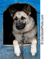 dog in house - domestic dog is in a house
