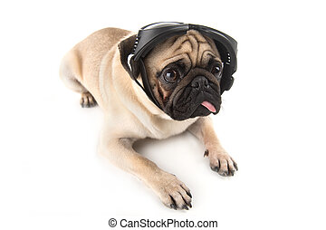 Dog in motorcycle glasses. Funny dog in protective glasses...