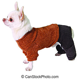 Dog in pants and sweater