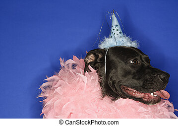 Dog in party hat and feather boa. - Black mixed breed dog...