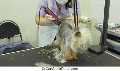 Dog in pet grooming salon. - Pet grooming salon. Grooming a...