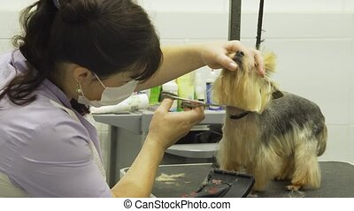 Dog in pet grooming salon. - Pet grooming salon. Grooming a...